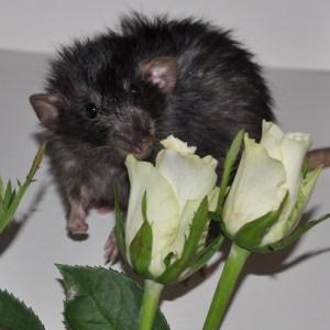 harley coated rat