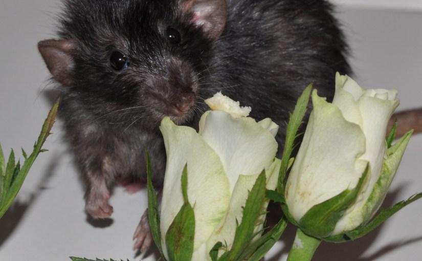 Pet Rat Coats: Hairless, Rex, and Harley
