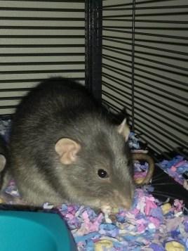 dumbo rat eating cheerios