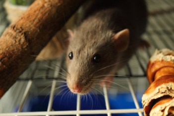 With the proper glass water bottle, your rat can remain healthy while saving you money in the long run.