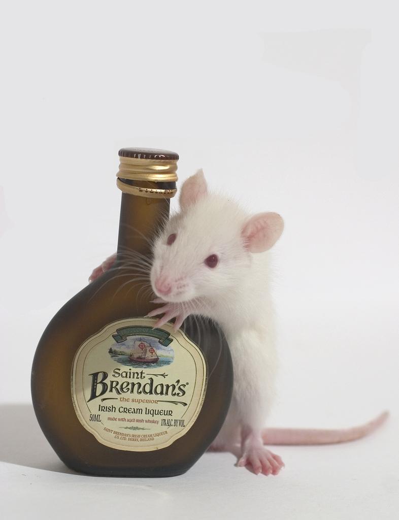 White rat with black eyes - photo#27