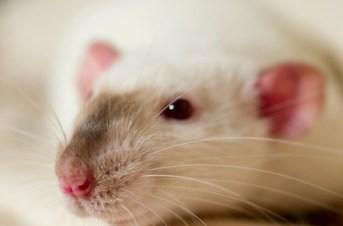 Beautiful siamese point rat Photo Credit: Alexey Krasavin