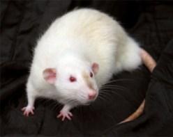 dumbo eared himalayan marked rat