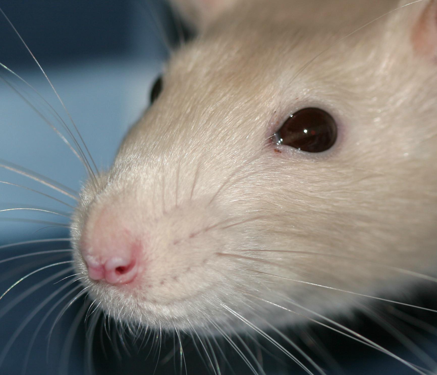 которые цвет глаз рубин у крыс фото домашних