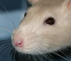 healthy rat eyes