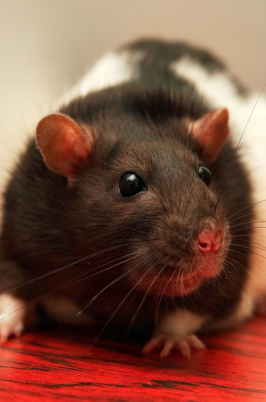 Rat Eyes Health Infection Blindness Understanding Pet Fancy Rats