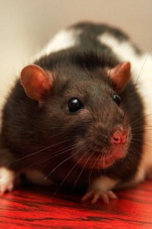 rat-757836_1280