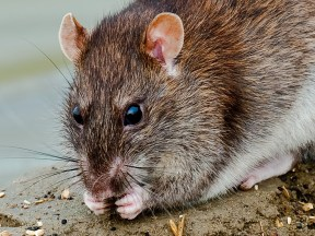 humanely removing rats from the home