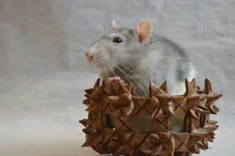 rat-624868_1920
