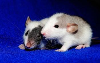 rat menstrual bleeding miscarriage pregnancy