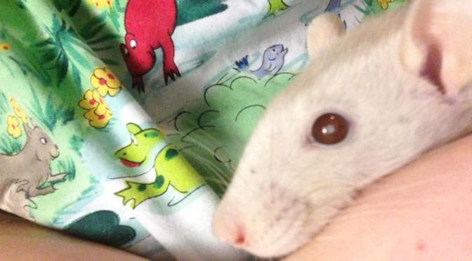 Why Is My Rat's Eye Turning White? Glaucoma, Infection, Cataracts?