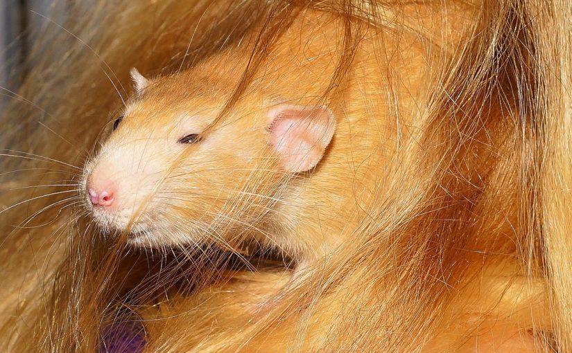 Do Rats Have Eyelids Understanding Pet Fancy Rats