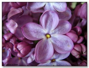 Lilac flower with 5 petals (superstitions)