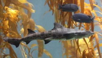 Leopard Shark: en.wikepedia.com