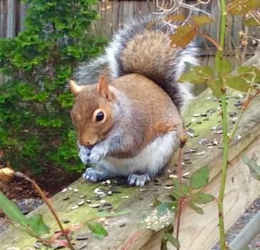 siegrist squirrel - 1