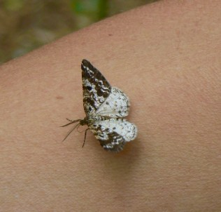 small moth in ths smokies