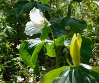 large flowered and yellow trillium