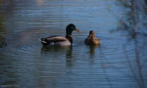 """I don't know, if they performed a courting dance. But they both were synchronizing """"Bill in the water, bill out of the water ...""""."""