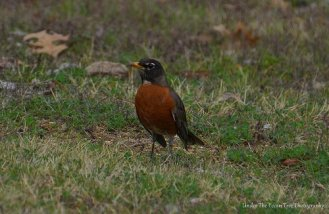 American Robin at the entrance of the Shoreline Trail