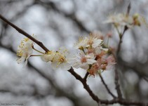 Mexican Plum Blossom