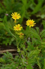 Golden groundsel (Packera obovata)