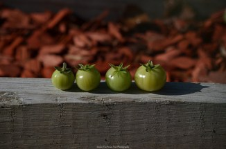 """Four little 'maters sitting on a """"bench"""" ... ;)"""
