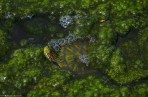 Another tiny Red-eared Slider turtle is camouflaged between the algee.