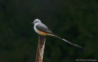 Scissor-tailed Flycatcher I