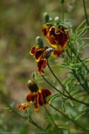 Mexican Hat (Ratibida columnifera)