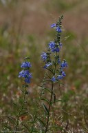 Blue Woodland Sage (Salvia nemorosa)