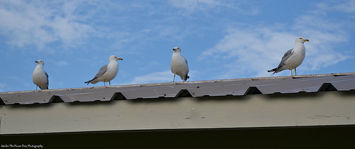 """Seagulls; the locals call them """"Rat's with wings"""""""