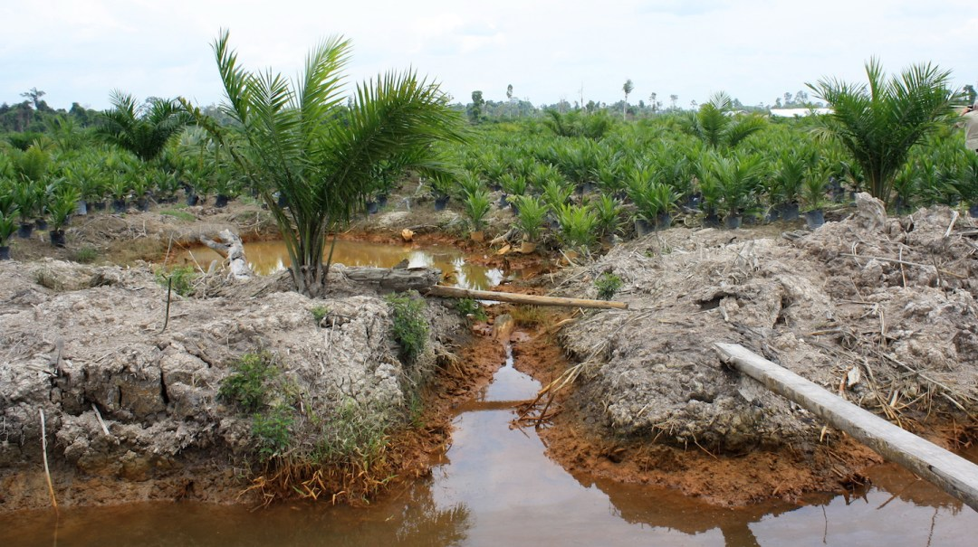 Land is often cleared for timber and replanted with oil palm, a major source of cooking oil worldwide.