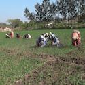 Women working in a field in India.