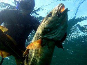 Stortorsk fra vrag paa 15m dybde 300x225 - Harpun til undervandsjagt