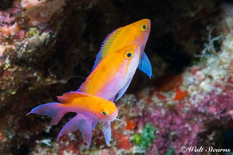 Bicolor Anthias (Pseudanthias bicolor), Hawaiian Islands