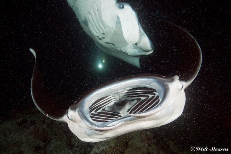 Manta swooping in close with mouth wide open as it filter feeds on the plankton.