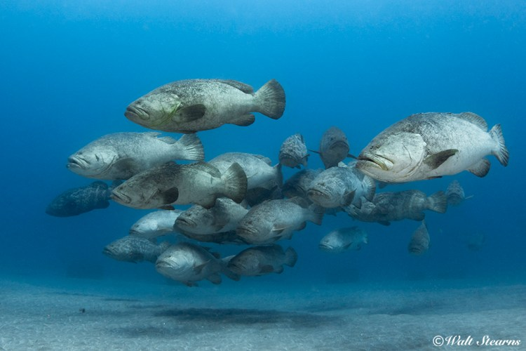 The waters of Palm Beach County, Florida is one the last places on earth where you can see large numbers of Goliath Groupers like aggregated during the spawning season months of August and September.