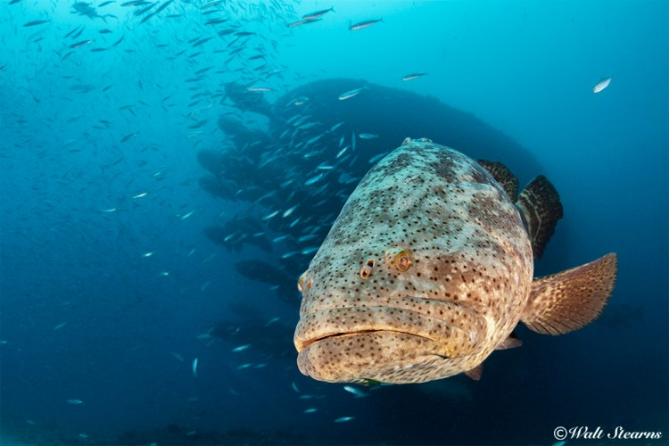 the presence of methylmercury in Florida's goliath groupers has reach very dangerous levels