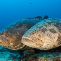 Two Species of Goliath Grouper