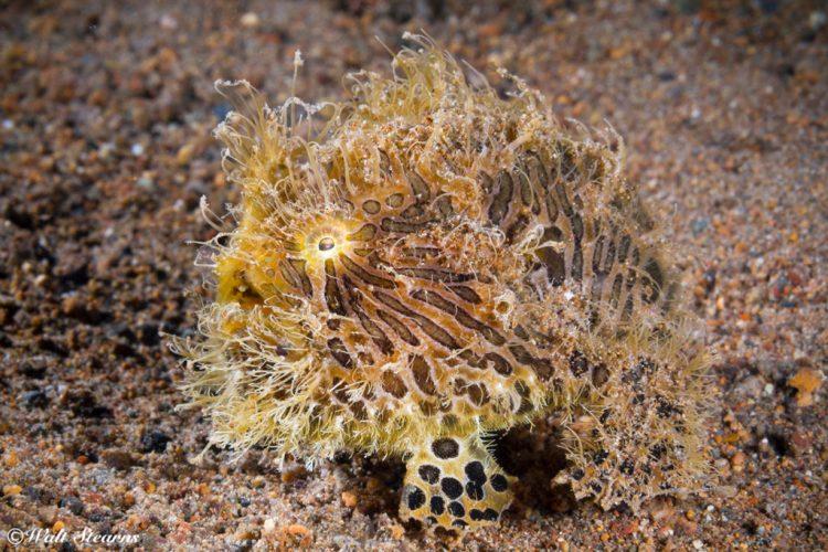 hairy frogfish (Antennarius striatus)