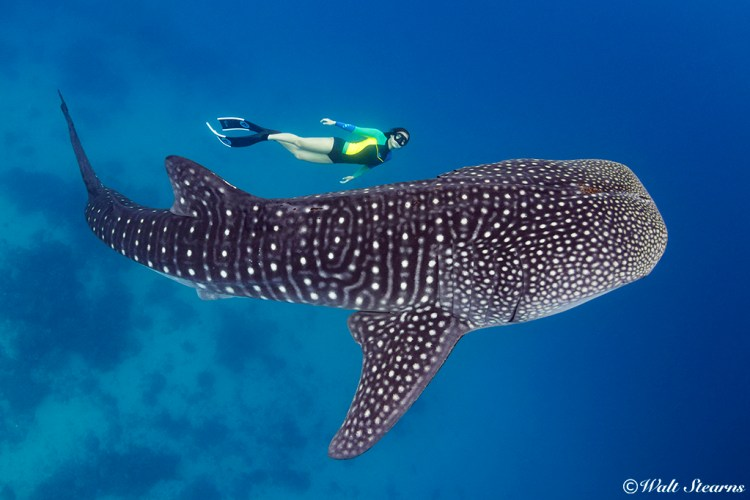 A free diver swims along side one of the ocean's largest species shark without fear of being attacked or even threatened for whale sharks in spite of titanic size are also some of the most benign creatures in the sea.