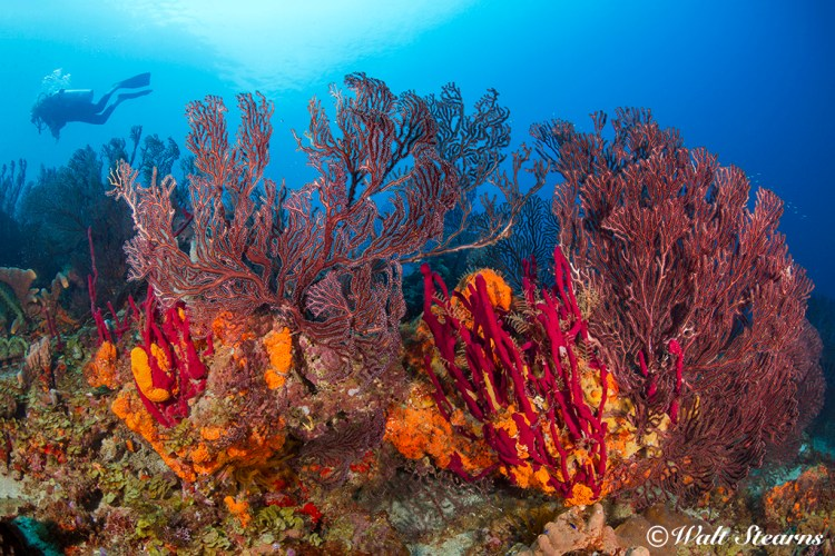At Superman's Flight in Soufriere Bay, colorful forests of gorgonians and sponges rule this St. Lucia reef.