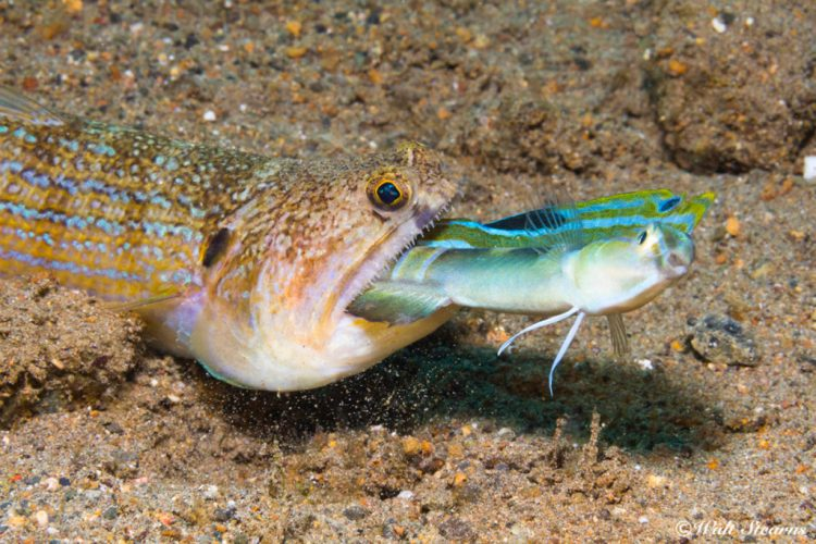 Life in the muck can get very rough which can be seen here with this snakefish (Trachinocephalus myops) make a meal out of a snake blenny (Xiphasia setifer) it ambushed in sand.