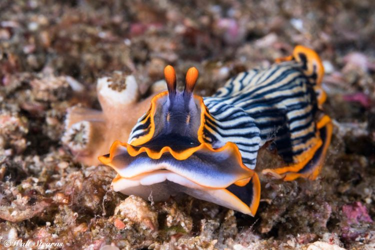 Armina semperi sea slug