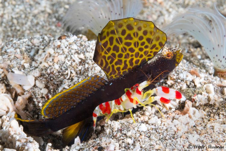 Magnificent shrimp gobie (Flabelligobius sp.) with its equally splendid roommate, a red banded or candy Alpheus shrimp (Alpheus randalli) make for an interesting pairing.