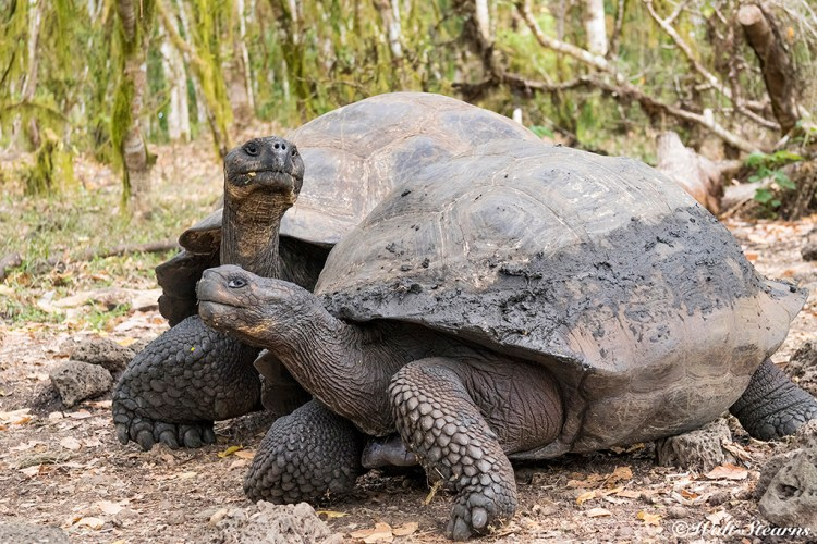 A shore excursion to the Highlands of Santa Cruz to see the island's indigenous species of Galapagos Tortoises in their natural environment is often arranged for guests on the Galapagos Sky.