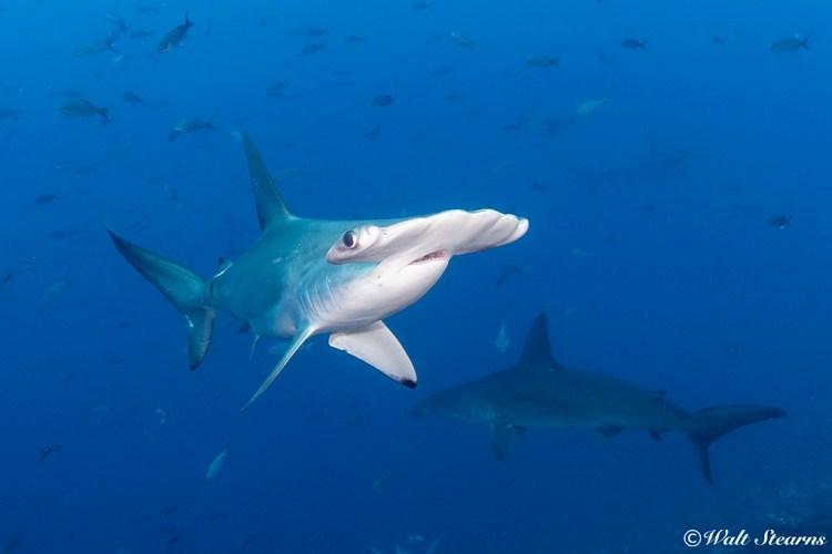 Schooling scalloped hammerhead sharks (Sphyma lewini) still remain the big ticket draw for both Darwin and Wolf Island.