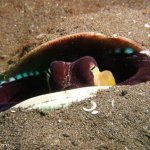 burrowed coconut octopus