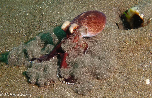 coconut octopus jetting away