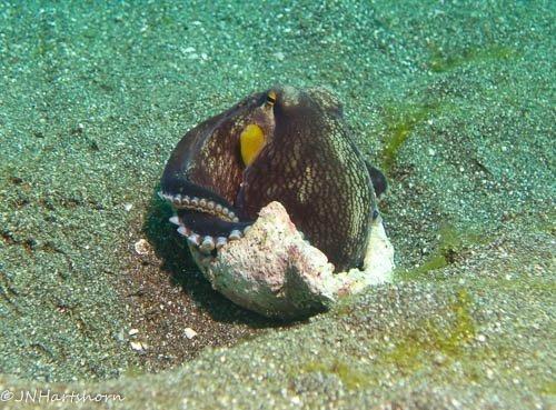 coconut octopus sitting in a broken shell